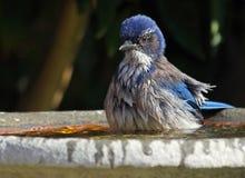 Blue Bird. California Blue Jay Taking Bird Bath Stock Photos