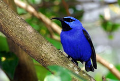 Blue Bird. This was a really big and fat blue bird Royalty Free Stock Photo