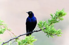 Blue bird of Africa Stock Photography