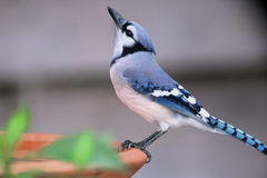 Blue Bird Bath. A blue jay drinking from bird bath Stock Photography