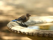 Blue Bird Bath Time. A beautiful blue bird with dark blue and brown feathers, spotted with white, at bird bath with light background royalty free stock image