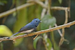 Blue bird. Black-naped Monarch. Black-naped Monarch.Living in mangrove forest, swamp forest, common in many areas Royalty Free Stock Photography