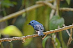 Blue bird. Black-naped Monarch. Black-naped Monarch.Living in mangrove forest, swamp forest, common in many areas Royalty Free Stock Photos