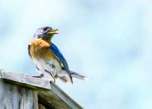 Blue Bird Blue Sky Royalty Free Stock Images
