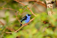 Blue Bird on Branch Royalty Free Stock Photography