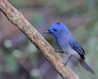 Blue bird called Black naped monarch sitting on a perch stock photo
