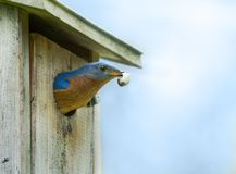 Blue bird Cleaning Waste from Nest. Male Eastern Bluebird Sialia sialis leaving the nest in a bird house with a fecal sac which is the waste of a nestling Stock Photo