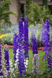 Blue Bird Delphihium (Delphinium) Stock Photos