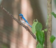 Blue Bird. An Eastern blue bird perched on a branch singing a song so blue for you Royalty Free Stock Image
