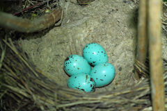 Blue bird eggs. In a nest Royalty Free Stock Image