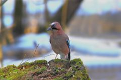 Blue-bird. The end of winter. More terms of snow, but the nature and the animals are already feeling the approach of spring. Beautiful blue-eyed bird sat on a Royalty Free Stock Photography