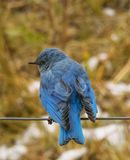 Blue Bird in Fall. A mountain blue bird sitting on a wire in the fall in wyoming stock photography