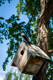 Blue Bird on Nest Box. Photo taken at Waterloo, Ontario, Canada Royalty Free Stock Images