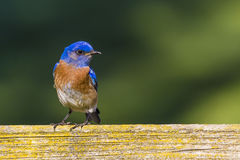 Blue bird. A blue and orange bird stand on the fence in Stock Photos