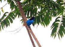 Blue bird-of-paradise. (Paradisaea rudolphi) in Papua New Guinea Royalty Free Stock Image