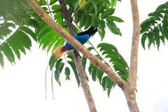 Blue bird-of-paradise Royalty Free Stock Photo