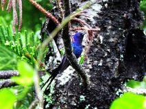 Blue bird perched in tree. Tropical blue bird perched in tree outdoors Royalty Free Stock Photography