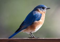 Blue Bird Profile Royalty Free Stock Photography