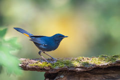 Blue bird resting on beautiful branch with lichen and orchid. Beautiful blue bird, White-bellied redstart maleHodgsonius phaenicuroides Royalty Free Stock Photo