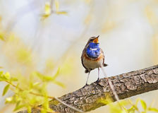 Blue bird sings on a branch on a Sunny spring day Stock Photography