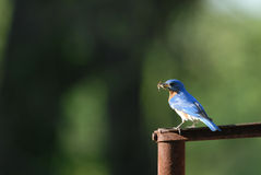 Blue Bird Snack Stock Photography