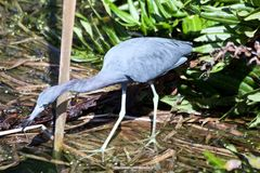 Blue bird standing in the water royalty free stock photos