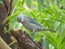 A blue Bird -  Thaurapis Stock Photo