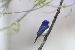 Blue bird on tree branch Stock Photography