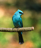 Blue bird. Verditer Flycatcher is a beautiful bird got its name from its colour which matches with colour of copper . mostly seen in mountain areas royalty free stock photos