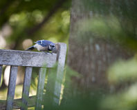 Blue Bird Watching. Blue Bird perched on a bench looking at the camera Royalty Free Stock Photo