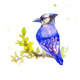 Blue bird in watercolor. Myophonus. Hand drawn sketch of blue bi. Rd Royalty Free Stock Photos