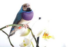 Blue bird and withe orchid. Blue and purple gould finch and white and yellow orchid on white background Stock Photography