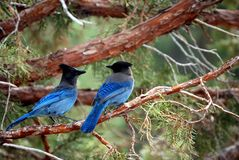 Blue birds. 2 blue birds in a tree, in Mammoth Mountain  CA Stock Image
