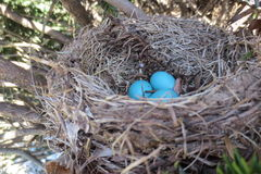 Blue Birds Nesting Stock Photos