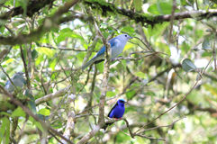 Blue Birds on Tree Branch, Guanacaste, Costa Rica Royalty Free Stock Photos