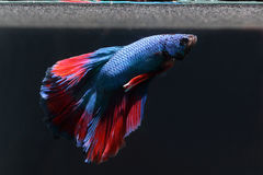 A blue biting fish with a beautiful red tail on a black background. Bite fish is one of the most beautiful and popular animal species in Thailand Stock Photography