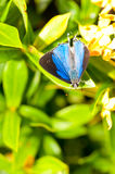 Blue & black butterfly Royalty Free Stock Photo