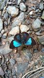 Blue and Black butterfly royalty free stock photos