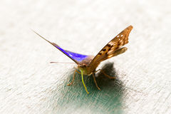 Blue and black butterfly Stock Images
