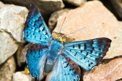 Blue and black butterfly Stock Photography