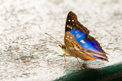 Blue and black butterfly Royalty Free Stock Image