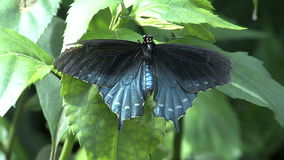 Blue and black butterfly close up. Video of blue and black butterfly close up stock video
