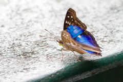 Blue and black butterfly closeup Stock Photos