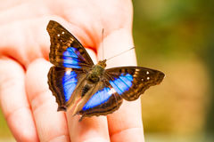 Blue and black butterfly on hand Stock Photography