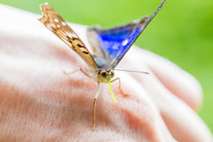 Blue and black butterfly on hand Royalty Free Stock Image