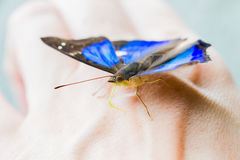 Blue and black butterfly on hand Royalty Free Stock Photo
