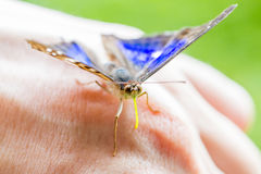 Blue and black butterfly on hand Stock Photo