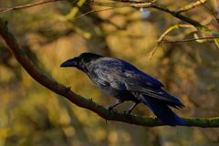 Blue black crow profile Stock Image