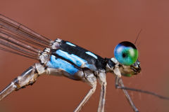 A blue and black damselfly coeliccia albicauda Stock Image
