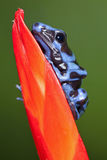 Blue and Black Dart Frog Stock Photography